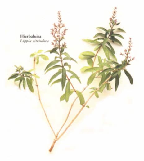 Hierba luisa lippia triphylla kuntze for Salsa de hierba luisa