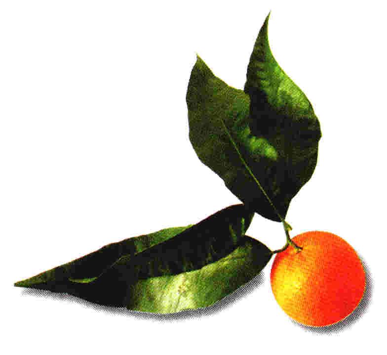 Hojas y fruto del Naranjo