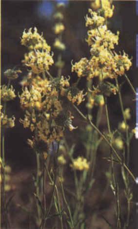 Rabo de Gato - Detalle de las flores
